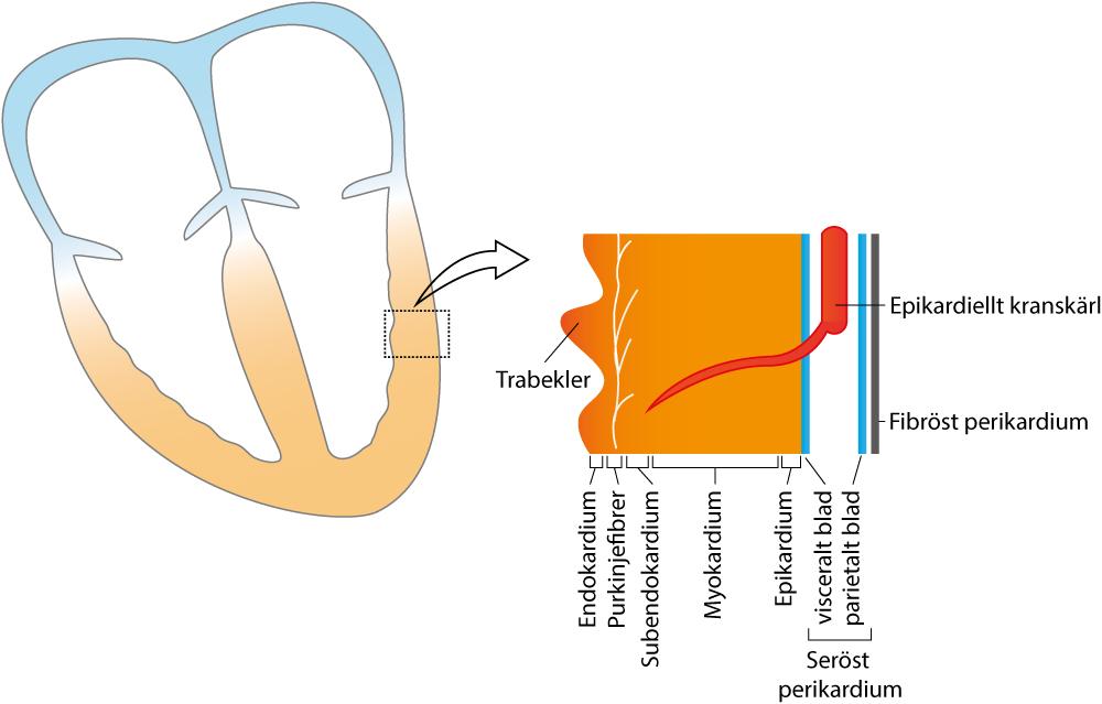 """Figur 5. Schematisk bild av hjärtmuskelväggens lager. Notera att termen """"myokardium"""" oftast används för att beskriva hela tvärsnittet."""