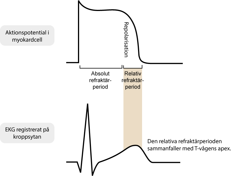 Figur 6A. Refraktärperioder under aktionspotentialen.