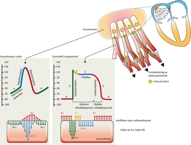 """Figur 5. Aktionspotentialer i sinusknutan och myokardceller samt intracellulära jonflöden. Fas 4 kallas """"pacemaker-potential"""" i sinusknutans celler."""