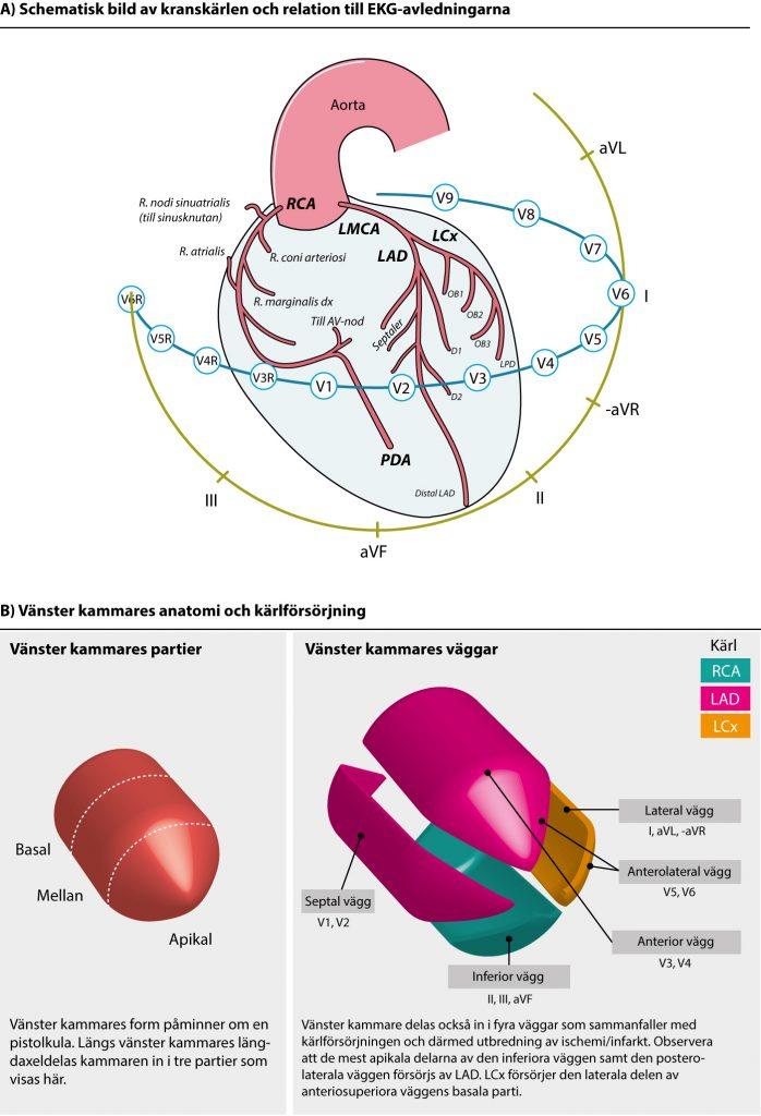Figur 90. Kranskärlen, deras relation till avledningarna samt hjärtats väggar.